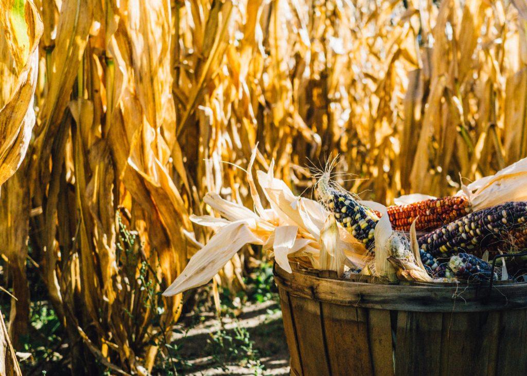 Corn at the Pilgrim's first harvest